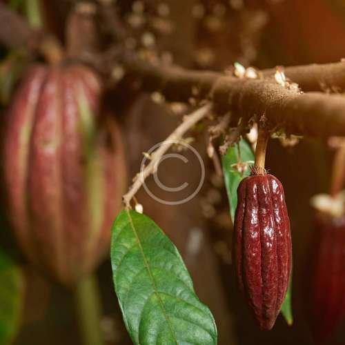 Избор на какаови зърна